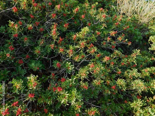 A mastic or lentisk or pistacia lentiscus shrub, with fruit, in Attica, Greece Canvas Print