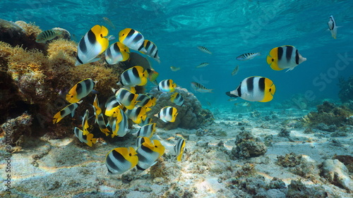 fototapeta na ścianę Pacific ocean, French Polynesia, shoal of colorful tropical fish (Pacific double-saddle butterflyfish) underwater in the lagoon of Bora Bora, Oceania