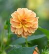 Leinwandbild Motiv Beautiful orange flower in the garden