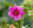 Leinwandbild Motiv Beautiful pink flower in the garden