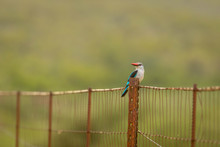 The Brown-hooded Kingfisher (Halcyon Albiventris) Sitting On A Fence, Madikwe Game Reserve, South Africa.