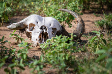 Close Up Of The White Skull Of Buffalo, Lying On Brown Dirt Among Patches Of Green Grass