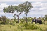 Fototapeta Sawanna - Iconic south african landscape with a large adult elephant grazing in the savanna close to two solitary trees, under a blue sky with puffy clouds