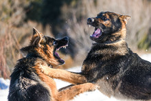 Dog Fight. Aggressive German S...