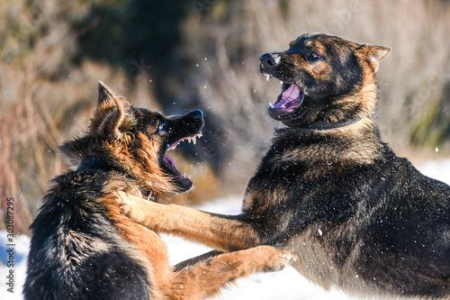 Photo Dog fight. Aggressive german shepherd.