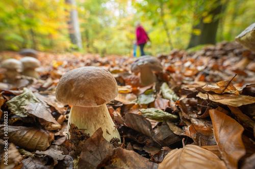 Fototapeta  Ein Pilzsammler sammelt im Herbst Steinpilze im von der Sonne leuchtenden Laubwa