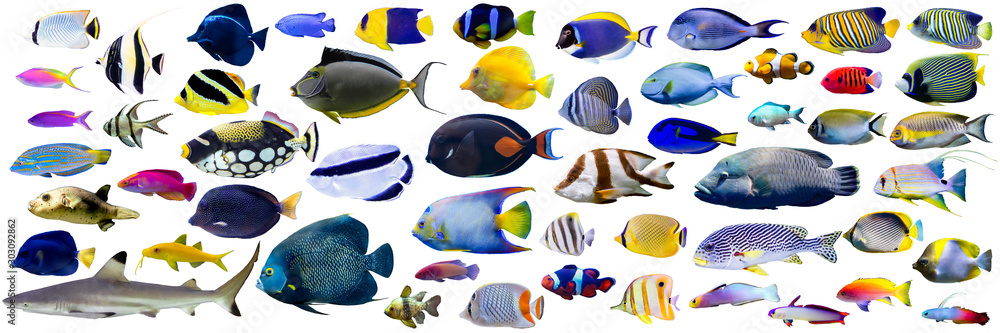 Fototapeta Set of  beautiful Marine fish and shark on white isolated background such as angelfish, butterfly fish, Wrasse and snapper