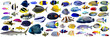 Set of  beautiful Marine fish and shark on white isolated background such as angelfish, butterfly fish, Wrasse and snapper