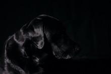 Shiny Black Labrador In Silhou...