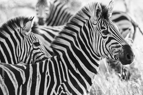 Burchell's Zebra portrait Kruger National park Canvas Print