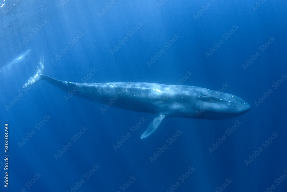 Fototapety, obrazy: Blue Whale underwater