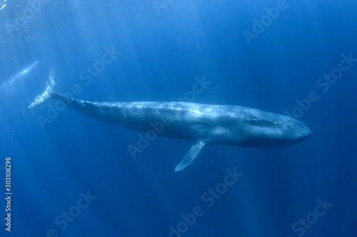 Blue Whale underwater Wallpaper Mural