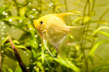 Gold Pterophyllum Scalare In A...