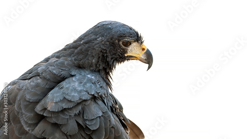 Photo portrait of an augur buzzard isolated on a white background