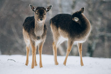 Beautiful Deer In Winter.