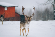 Beautiful Deer In Winter Outdo...