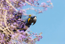 Hyacinth Macaw Perched On A Tree Branch