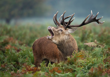 Red Deer Stag Calling During Rutting Season In Autumn