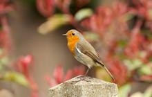 Close-up Of An European Robin ...