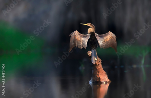 Photo Anhinga perched on a falling tree with wingsand tail spread to dry