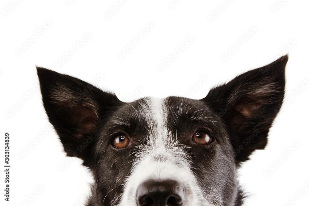 Fototapety, obrazy: close-up curious border collie dog eyes. Isolated on white background.