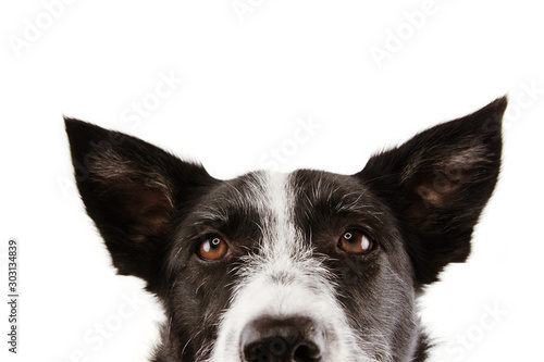 Fotografía  close-up curious border collie dog eyes