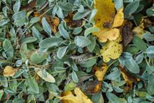 Stachys Byzantina Plant On A Warm Autumn Sunny Day.