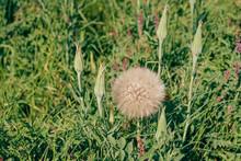 Salsify Flower Seeds Close-up. Big Giant Dandelion. Tragopogon Dubius, Common Salsify, Yellow Goatsbeard