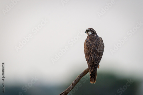 Photo  Laggar falcon or Falco jugger an angry and migratory bird Sitting on  perch with