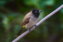 A White-spectacled Bulbul (Pycnonotus Xanthopygos) Perched On An Electric Wire