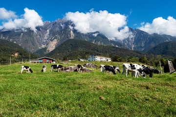 Fototapeta na wymiar View of Mt Kinabalu with herds of cattle grazing grass on the foreground, Mount Kinabalu is the highest mountain in Malaysia.