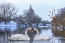 Couple Of Beautiful White Swans Wintering At River. Romantic Background With Birds.
