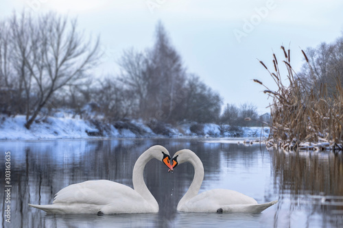 Fototapeta Couple of beautiful white swans wintering at river