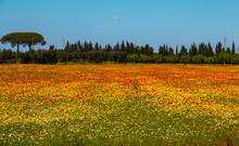 Mediterranean Landscape Whit Olive Trees, Red Poppies And Yellow Daisies In Salento, Italy