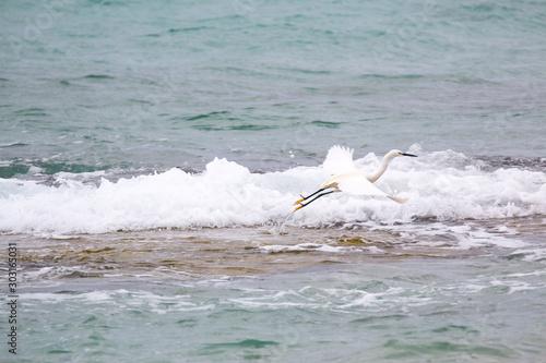 Photo Great white egret (Egretta alba)