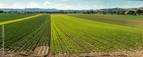 Photo sur Toile Pistache Big lettuce plantation on rows outdoor. Industrial lettuce farm.