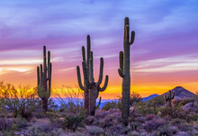 Stand Of Saguaro Cactus At Sun...
