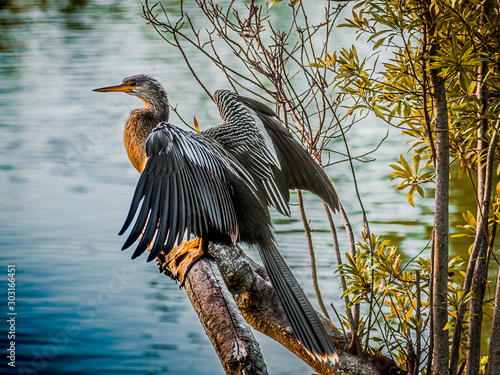 Female Anhinga Drying her Feathers over the Lagoon Wallpaper Mural