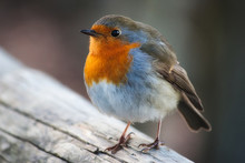 Close-up Portrait Of A Beautiful Robin With Red Breast Perched On A Branch