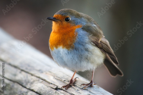 Close-up portrait of a beautiful robin with red breast perched on a branch Canvas Print