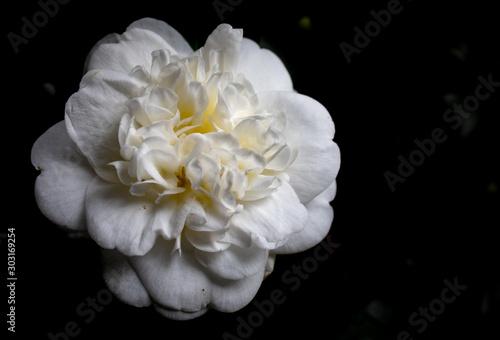kamelia biała kwiat - fototapety na wymiar