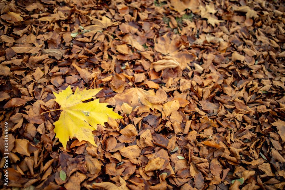 Fototapeta liść klonu jesień suche liście
