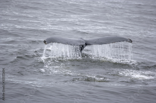 Cuadros en Lienzo Humpback whale tale in Antarctica