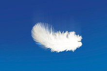 Drifting Of The White Plumage ...