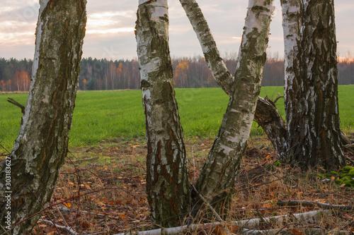 Krzywe brzozy, w tle zielona trawa i las w pochmurne jesienny dzień. - 303183627