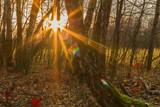 Fototapeta Tęcza - Ciepłe, tęczowe promienie słońca w brzozowym jesiennym lesie.