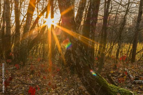 Ciepłe, tęczowe promienie słońca w brzozowym jesiennym lesie. - 303188292