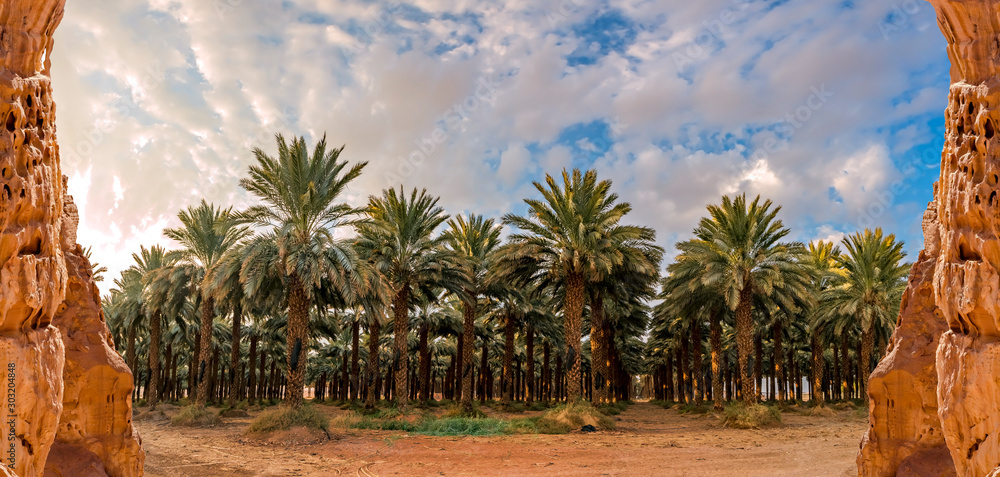 Fototapety, obrazy: Panorama with plantation of date palms. Image depicts advanced desert agriculture industry in the Middle East