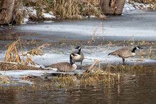 Canada Geese Resting On River