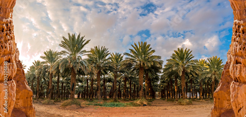 Panorama with plantation of date palms. Image depicts advanced desert agriculture industry in the Middle East